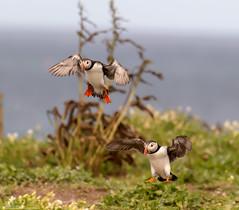 Settling Puffins (Steve (Hooky) Waddingham) Tags: stevenwaddinghamphotography bird british coast nature northumberland flight fish farnes wild wildlife sea summer puffin