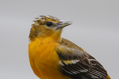 Female Oriole enjoys an orange after the rain. (Diane G. Zooms---Mostly Off) Tags: alittlebeauty femaleoriole oriole baltimoreoriole wildbird dianegiurcophotography ngc npc naturethroughthelens coppercloudsilvernsun coth coth5 saariysqualitypictures