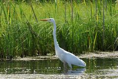 Большая белая цапля - Ardea alba (Marina-PMV) Tags: ardeaalba цапля белаяцапля heron whiteheron птицы bird
