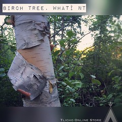 #Birch tree in Whatì.  #Simplebeauty of #Nature #spectacularnwt #tourism in the #TlichoRegion in the heart of the Northwest Territories. (Tlicho Online Store) Tags: birch simplebeauty nature spectacularnwt tourism tlichoregion