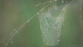 Dew and Web