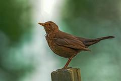 Klyster / Merel / Blackbird (f) (fotofrysk) Tags: klyster merel blackbird turdusmerula female fugel vogel bird nederlan nederland netherlands drente meppel afsnikkor200500mm56eed nikond7100 201805222140