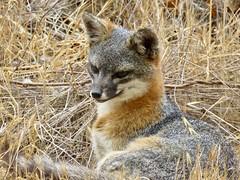 Channel Island Fox (morroelsie) Tags: islandfox channelisland channelislandfox fox centralcoast morroelsie