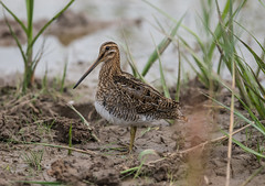 Common Snipe  21-07-2018-2039 (seandarcy2) Tags: waders snipe common marshland reedbed birds wildlife lincs uk