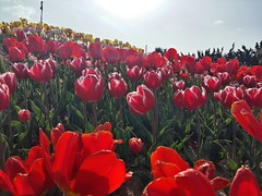 Tulips in Sinan (Cassan Weish) Tags: tulip s red pink hybrid field sunshine sky