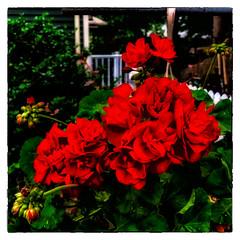 Geranium (Timothy Valentine) Tags: home flowers 0618 red eastbridgewater massachusetts unitedstates us fbpost hct