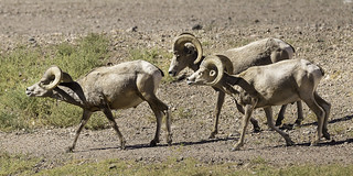 024693763438-101-Bighorn Sheep in the Mojave Desert-5