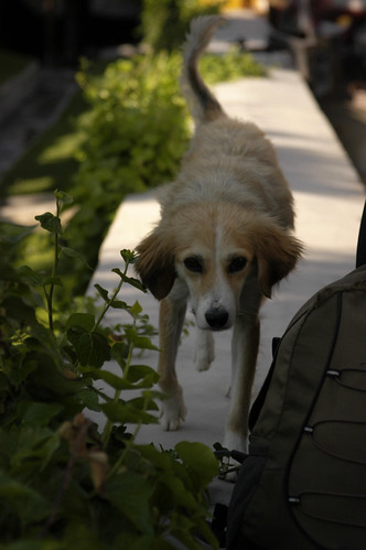 Another dog, Göreme