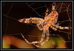 """Spikings..."" (NikonShutterBug1) Tags: nikond7100 tokina100mm entomology nature wildlife bokeh spe smartphotoeditor closeup macro spider insects arachnology araneology web webwednesday 7dwf"