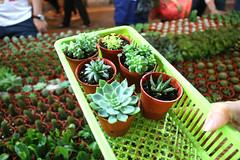 Succulents & Cactus (JadeTans) Tags: brinchang cameronhighlands malaysia market brinchangweekendnightmarket brinchangnightmarket succulents cactus