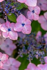 Hydrangea (Hiro_A) Tags: flower hydrangea shikoku shikokuchuo nikon d7200 sigma 1770mm 1770 japan ehime