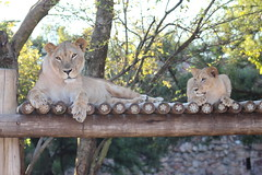 Mother and Cub (Rckr88) Tags: mother cub motherandcub lion lions lioness lioncubs lioncub animals animal mammals mammal bigcat johannesburgzoo southafrica johannesburg zoo south africa zoos nature outdoors travel travelling