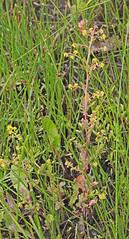 CAC032529a (jerryoldenettel) Tags: 150717 2015 bluntleafyellowcress brassicaceae brassicales chenopodium nm rorippa rorippacurvipes rosids sanjuanco washingtonpass wildflower yellowcress flower