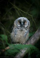 Long eared owl chick (tommerchant1) Tags: owl longearedowl bbcspringwatch birdsofbritian wildlife nature staffordshire birdsofprey chick nikon nikonnature nikonwildlife