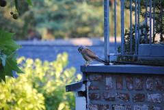 Common Kestrel (Felix Jaensch) Tags: common kestrel city nature cologne bird raptor