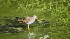 Lesser yellow legs (Birdwatcher18) Tags: lesseryellowlegs birds wader birding birder birdwatching water nature