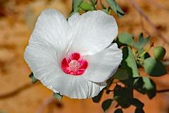 """Sturt Desert Rose! (Uhlenhorst) Tags: plants pflanzen flowers blumen blossoms blüten 2017 australia australien travel reisen """"doublefantasy"""""""