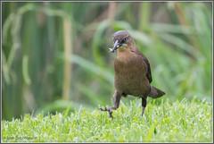 Grackle on a Mission 2658 (maguire33@verizon.net) Tags: greattailedgrackle legglake whittiernarrows bird female grackle wildlife southelmonte california unitedstates us