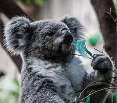 Koala 🐨 aus dem Zoo Duisburg (atoja123) Tags: koala koalabär bears miśkoala zoo zooduisburg animals tierportraits tierportrait nikon atoja severinzbigniew tamronsp70200vcusd d90 nikonpolska nikondeutschland deinnrw nrw