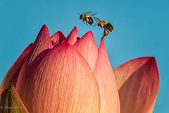 Bee Line (dngovoni) Tags: dc flower washington action background bee bug insect kenilworthaquaticgardens macro summer sunrise wildlife districtofcolumbia unitedstates us