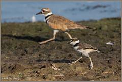 The Next Generation 6123 (maguire33@verizon.net) Tags: charadriusvociferus frankgbonelliregionalpark killdeer plover bird wildlife sandimas california unitedstates us