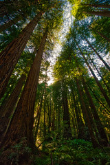 Afternoon Light on the Tall Trees (dougbank) Tags: trees tree travel nationalmonument landscapes landscape vertical vegetation green outdoors outside artsy redwoods california nature aurorahdr