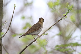 Swainson's Thrush / Grive à dos olive