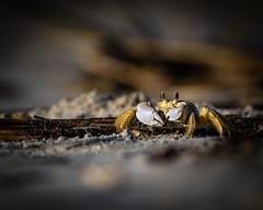 Ghost Crab (redforester) Tags: anthonycedrone animal animals atlantic coastal stoneharborbeach beach beaches claw claws coast crab crabs crustacean ghost ghostcrab invertebrate invertebrates newjersey ocean sand sandy seashore wild wildlife