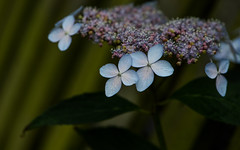 Hydrangea (PChamaeleoMH) Tags: flora flowers hydrangea inflorescence macro