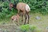 First nurse (ChicagoBob46) Tags: elkcalf elkcow elk calf cow yellowstone yellowstonenationalpark nature wildlife coth5 ngc npc