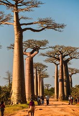L'Allee des Baobabs (Rod Waddington) Tags: africa african afrique afrika madagascar malagasy people des baobabs lallee avenue trees landscape outdoor culture cultural group morondava nature