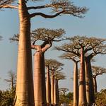 L'Allee des Baobabs thumbnail