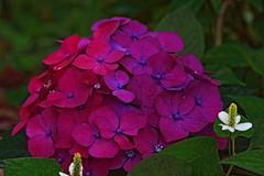 Hydrangea,Iwamoto Mountain Park (ULTRA Tama) Tags: mtfuji mtfujiwhc japan shizuoka fuji todays dayliphoto instadaily photogenic igjapan loversnippon worldcaptures flickrfriday welovef june 2018 hydrangea iwamoto mountain park flower