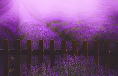 Purple .. (Julie Greg) Tags: levander purple colours soft nature fujifilmxt20 field romantic england kent