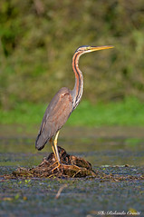 Airone rosso _009 (Rolando CRINITI) Tags: aironerosso uccelli uccello birds ornitologia curtatone mincio natura