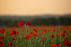 089A6960-2 (Paul Robinson Photography UK) Tags: poppy poppies flower flowers field sunset england