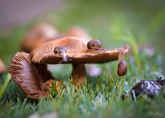 The snails who enjoy a bit of fungus (Tatterededges) Tags: snailsofmybackyard happysnailsaturday snail snails mushroom flower bokeh macro macrophotography