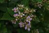 Flowers changing into blackberries (Marta Panzeri) Tags: flower blackberry balckberries macro fiore mora more fiori natura nature leaves foglie