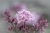 Brightest of the Bunch (soupie1441) Tags: stmarys ontario canada nikon d7200 pink magenta blossom daphne plant nature flowering bloom grey bokeh