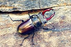 Lucanidae (Photography Christophe.H) Tags: lucanidae insect insecte macro exterieur été reflex canon 700d 1855mm 1855