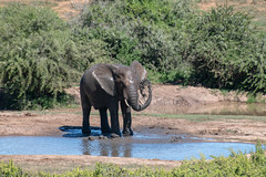 Now the Left Side (zenseas) Tags: africanelephant wild workingholiday waterhole workingvacation elephant addo elephants addoelephantnationalpark africa vacation africanbushelephant holiday loxodontaafricana bath bathtime elephantbathtime bathing muddy funny