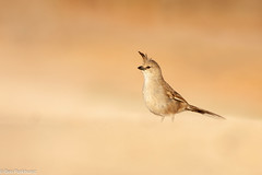 Chiming Wedgebill (Psophodes occidentalis) (BenParkhurst) Tags: 2018 sharkbay aves psophodesoccidentalis benparkhurst passerine hamelin hamelinstationreserve coquina animal call eveninglight hamelinstation westernaustralia wa oof chimingwedgebill outdoor bird wild pastoral wildlife rangelands fauna australia crest