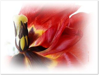 Just a withering Tulip ... ... ... ... ... ( FAVES STOP !! )