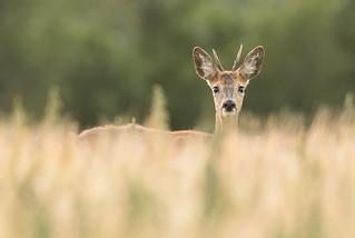Juvenile Roe Deer buck