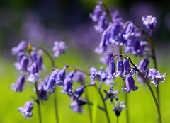 Fields of Blue (PJ Swan) Tags: bluebells england beningbrough hall blues gardens springtime spring blue woodland wonders