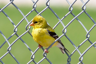 American Goldfinch (Breeding Female?)