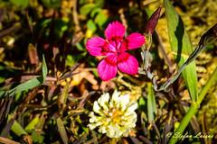 Dianthus deltoides (Salmix_ie) Tags: flowers blooms blossom colors nikon nikkor d500 karvat oravais finland june 2018