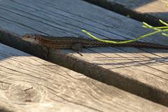 Skogsödla_6397 Zootoca vivipara (anders arman) Tags: ödla skogsödla viviparouslizard lizard zootocavivipara nature wildlife sweden