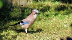 Jay (tsbl2000) Tags: tamron150600mm nikond810 jay wildlifecafe bird garden sussexwildlifetrust