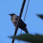 crow 7 7 18 thumbnail